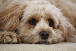 Cute fluffy cavapoo puppy lying down on a sofa looking sleepy