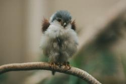 Cute fluffy chick of American kestrel (Falco sparverius). Shallow focus. Film effect.