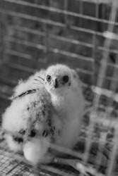 Cute fluffy chick of peregrine falcon. Shallow focus. Film effect.