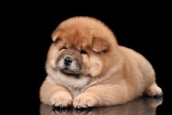 Cute fluffy chow chow puppy