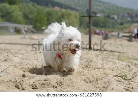 Cute fluffy dog on beach running - Maltese puppy