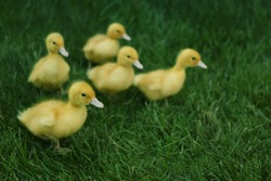 Cute fluffy goslings on green grass outdoors. Farm animals