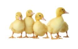 Cute fluffy goslings on white background. Farm animals