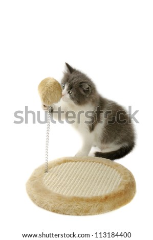 Cute fluffy gray and white kitten playing with scratching toy