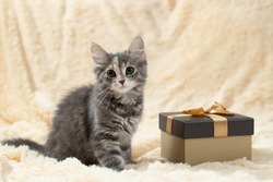 Cute fluffy gray kitten sitting on a cream fur blanket next to a golden gift box, copy space