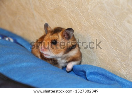 cute fluffy hamster froze and wary