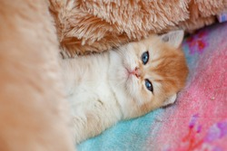 cute fluffy kitten Golden chinchilla Brit is lying on the sofa at home