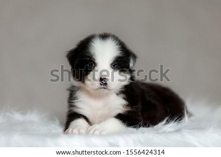 cute fluffy puppy Aussie posing