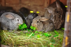 cute fluffy rabbits eat green grass in a cage on the farm.