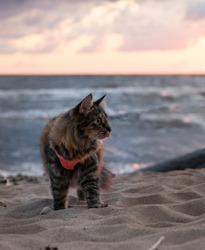 Cute fluffy travel kitty walking on the beach. Adventure kitty on her adventure at the Kabli beach. Kitty with a harness and a leash. Cute furry cat spending time on a sandy beach.