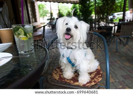 Cute fluffy white dog in cafe #699640681