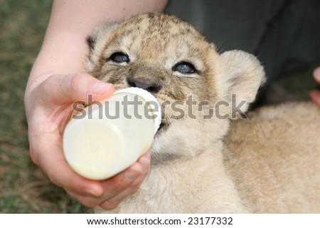 Cute four week old lion cub drinking milk formula from a bottle