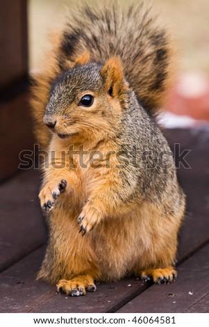 Cute Fox Squirrel Begging For Food
