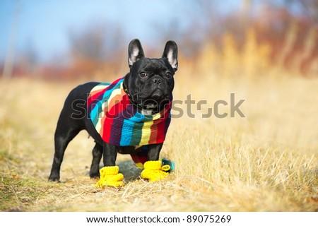 Cute french bulldog - stock photo