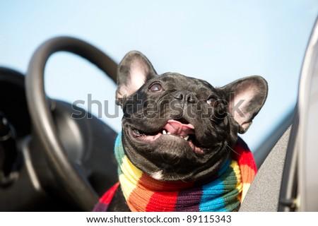 Cute French Bulldog driving a car