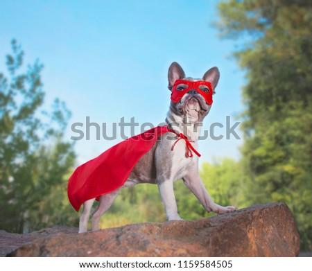 cute french bulldog in a super hero costume