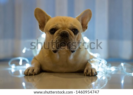 Cute French bulldog is laying on the floor decorate with small lights #1460954747