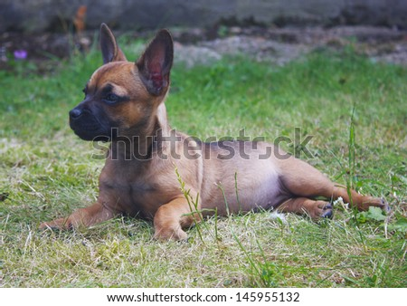 Cute french bulldog puppy cross with big ears relaxing in a garden/Puppy lying down on grass/Cute puppy dog