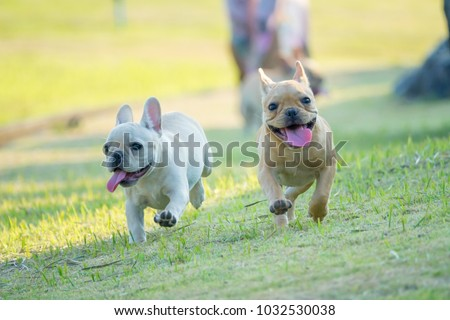 Cute French bulldog puppy in green yard