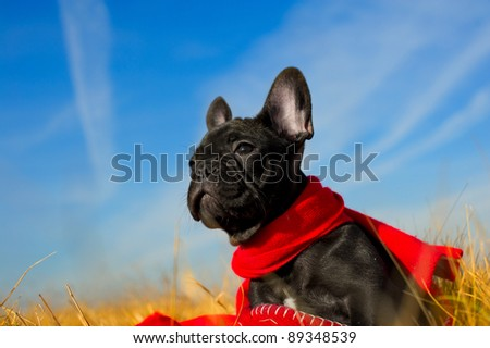 Cute french bulldog puppy playing