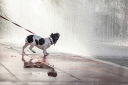 Cute French Bulldog Puppy Walking Park Water Fountain Background, French walking on park, Cute white Bulldog, relax pet, animal funny