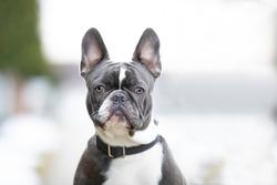 cute French bulldog sitting outside portrait