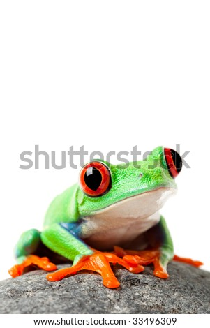 cute frog sitting on a rock isolated on white - a red-eyed tree frog (agalychnis callidryas)