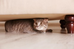 Cute funny cat hiding under furniture at home