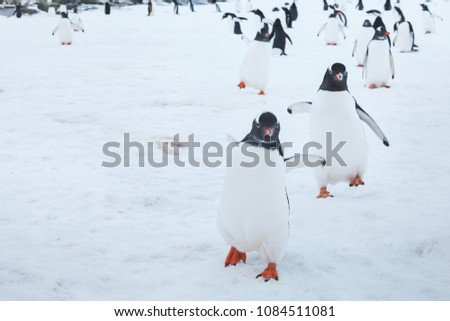 cute funny gentoo penguins running on snow to the camera, curious birds in Antarctica, enthusiasm concept #1084511081