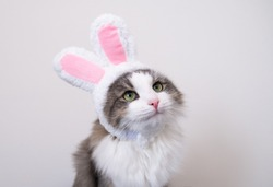 Cute funny gray cat in bunny ears sits on a white background. Cat in suit for easter.