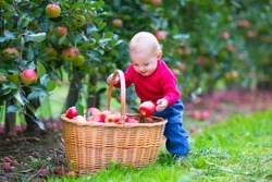 Cute funny little baby boy standing next to a basket full with apples playing in a beautiful fruit garden on a nice warm autumn day in a farm