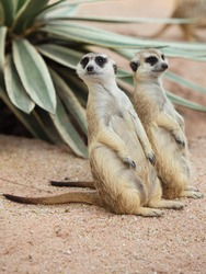 Cute funny-looking alert suricates