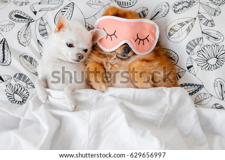 Cute, funny red pomeranian female puppy lying on back in sleeping mask together with chihuahua male on pillows on sofa covered by blanket. Good night. Lovely couple. Dogs resting. Pets. Love. Animals.