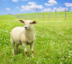 Cute funny sheep or lamb in green meadow