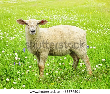 Cute funny sheep or lamb in green meadow