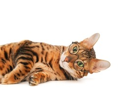 Cute funny smart brainy striped purebred ginger bengal cat wearing eye glasses relaxed lying on white background.Pet poor vision,animal spectacles or concept of studies or intelligence.Copy space