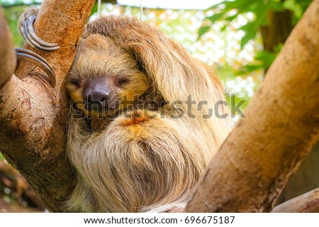 cute furry sloth sleeping while holding on the tree
