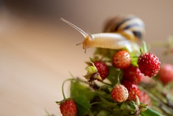 Cute garden snail crawls on bunch of wild strawberries sprigs with ripe berries