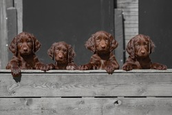 Cute german longhaired pointer puppies