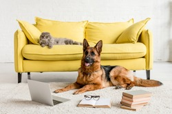 cute German Shepherd lying on floor with laptop and books in and grey cat lying on couch