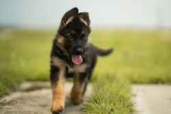 Cute german shepherd puppy playing in the grass