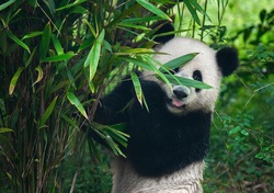 Cute giant panda bear posing in bamboo forest