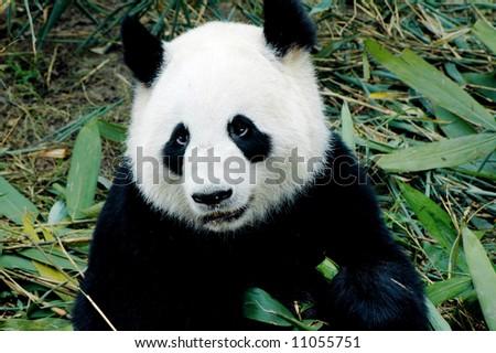 cute giant panda in the zoo of chengdu, china