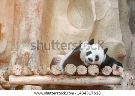 Cute giant panda or Ailuropoda melanoleuca enjoy playing at the zoo. Adorable big bear with beautiful fur. Endangered wild animal, native in China. National animal symbols of China. #1434317618