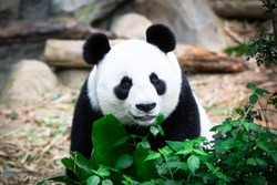 Cute Giant Panda with tree. (Ailuropoda melanoleuca) Animal and wildlife concept. Panda in Singapore Zoo.