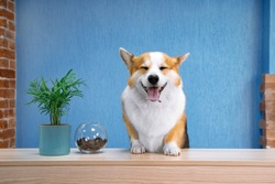 Cute ginger and white dog of welsh corgi pembroke breed sits on the desk of reception. Funny face expression, smiling friendly dog welcoming the guests of hotel or salon. Bright blue wall background.
