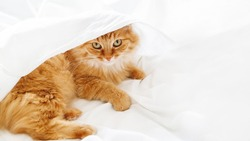 Cute ginger cat lies on unmade bed. Fluffy pet under white crumpled bed sheet. Fuzzy domestic animal. Lazy morning at cozy home. Banner with copy space.