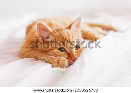Cute ginger cat lying in bed. Fluffy pet is gazing curiously. Stray kitten sleep on bed first time in its life. Cozy home background, morning bedtime.