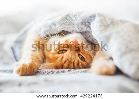 Cute ginger cat lying in bed under a blanket. Fluffy pet comfortably settled to sleep. Cozy home background with funny pet. #429224173