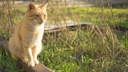 Cute ginger cat sitting in a sunny garden. Pet relaxing outdoor